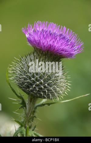 Scots thistle - Stock Photo