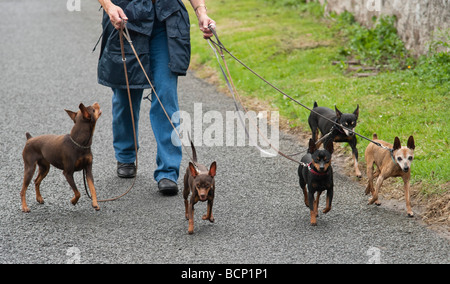 Miniature Dobermann Pinscher dogs being walked in Kelso Scotland during the annual dog show at the town showground - Stock Photo