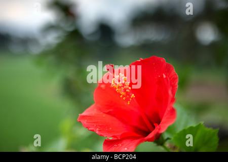 red hibiscus nr Ubud, Bali, Indonesia - Stock Photo