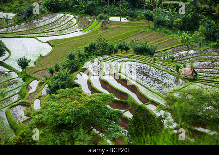 rice terraces, nr Tirtagangga, Bali, Indonesia - Stock Photo