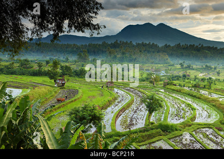 ox driven plough in the terraced rice fields nr Tirtagangga at dawn with the volcanic peak of Gunung Lempuyang, Bali, Indonesia Stock Photo