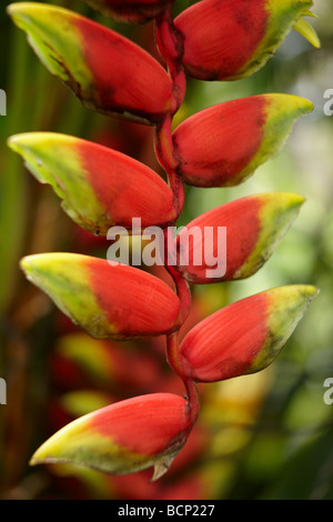 an insect on a heliconia pendula, Bali, Indonesia - Stock Photo