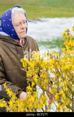 Frau in ihren Siebzigern mit Kopftuch kontrolliert die Entwicklung eines Forsythienstrauchs Forsythia auf ihrem - Stock Photo