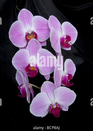 Phalaenopsis orchid on black velvet. Plant portrait on black.  Purple and magenta petals in contrast. - Stock Photo