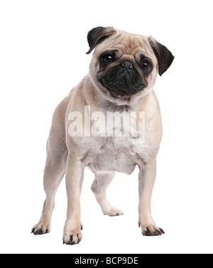 Beige pug standing up in front of the camera, 2 years old, in front of a white background, studio shot - Stock Photo