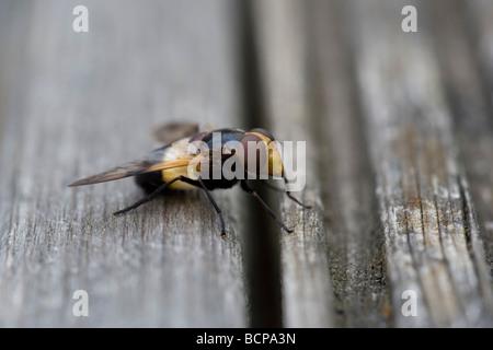 Volucella Inflata Fly True Flies Order Diptera - Stock Photo