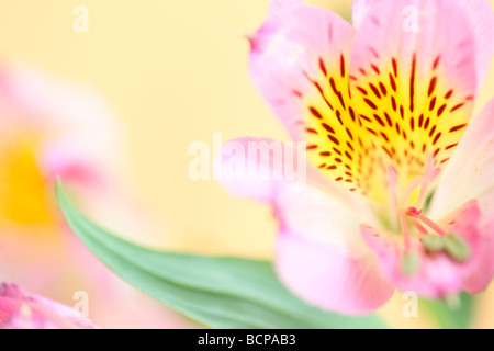 beautifully delicate image of the loved alstroemeria fine art photography Jane Ann Butler Photography JABP364 - Stock Photo