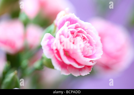 pink carnations on a mauve background fine art photography Jane Ann Butler Photography JABP362 - Stock Photo