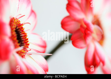 fresh and pure contemporary image of a red tipped gerberas fine art photography Jane Ann Butler Photography JABP367 - Stock Photo