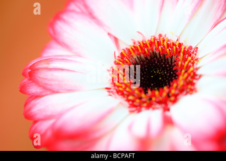 fresh and pure contemporary image of a red tipped gerbera fine art photography Jane Ann Butler Photography JABP368 - Stock Photo