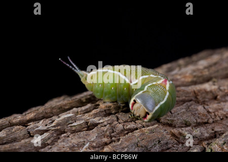 Puss Moth Caterpillar Cerura vinula Notodontidae - Stock Photo