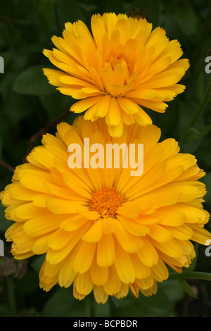 Marigolds Tagetes Taken In Croxteth Hall Walled Garden, Liverpool, England, UK - Stock Photo