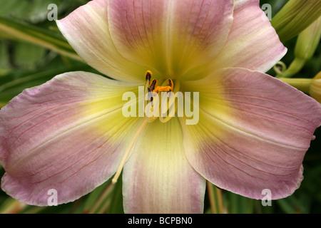 Pink Day Lily Hemerocallis 'Catherine Woodbury' Taken In Croxteth Hall Walled Garden, Liverpool, England, UK - Stock Photo