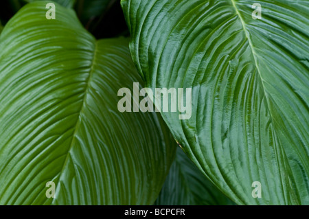 Leaves of Tacca chantrieri Bat Plant of Devil Flower - Stock Photo