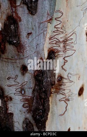 Pattern on the bark of Scribbly Gum or Eucalyptus Signata NSW Australia - Stock Photo