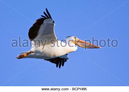 American White Pelican in flight - Stock Photo