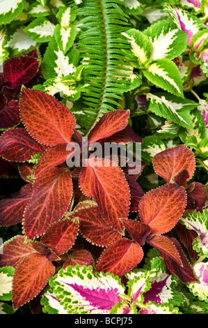 Coleus leaves Painted Nettles - Stock Photo