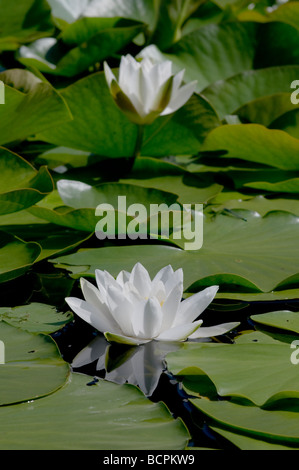 Water Lily at Bosherston Lily pond, reflecting flowers surrounded by lily pads white flower - Stock Photo