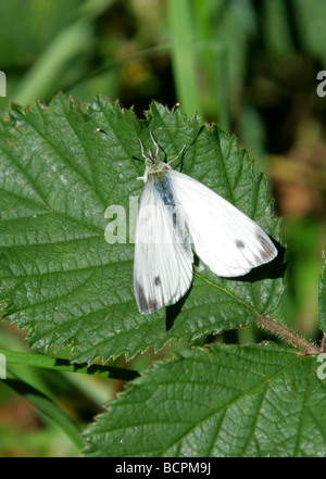 Small White Butterfly aka Small Cabbage White Butterfly, Pieris rapae, Pieridae, UK - Stock Photo