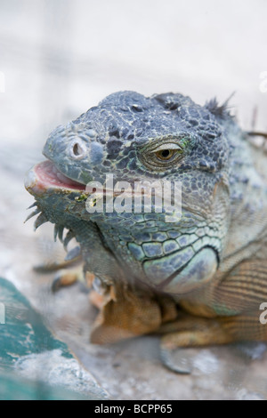 large iguana, closeup up, after eating his vegetable and fruit salad - Stock Photo