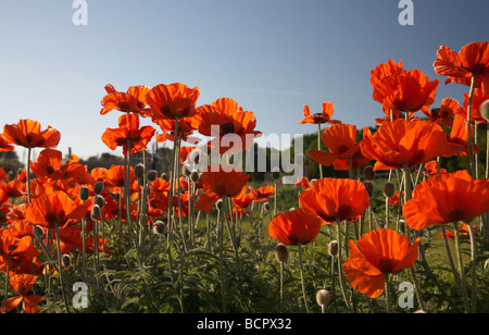 Papaver, abundant backlit wild red poppies in a field against a blue sky. - Stock Photo