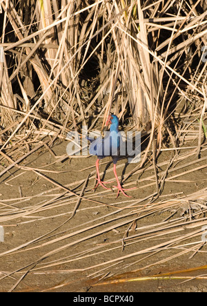 Purple Swamphen also called Purple Gallinule Porphyrio porphyrio with Oyster shell in beak at waters edge la janda - Stock Photo