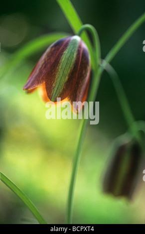 Fritillaria messanensis Fritillary - Stock Photo