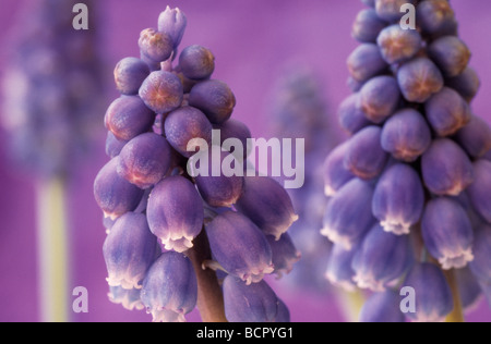 Muscari, Grape hyacinth, close up of purple flower spikes opening against a purple background. - Stock Photo