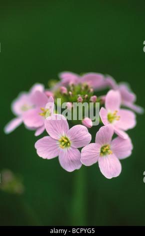Cardamine pratensis Cuckoo flower - Stock Photo