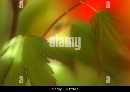 Acer palmatum Japanese maple - Stock Photo