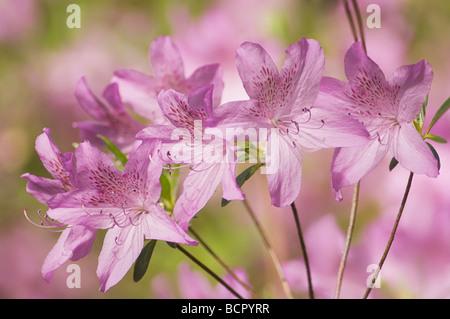 Rhododendron - variety not identified Azalea - Stock Photo