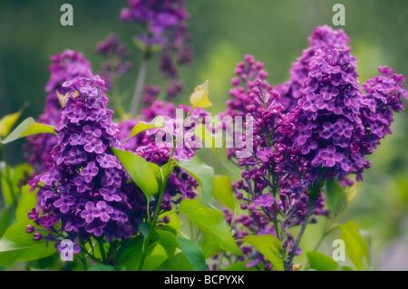 Syringa vulgaris Lilac - Stock Photo