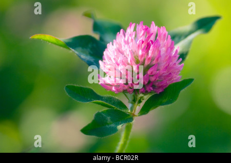 Trifolium pratense, Clover - Stock Photo