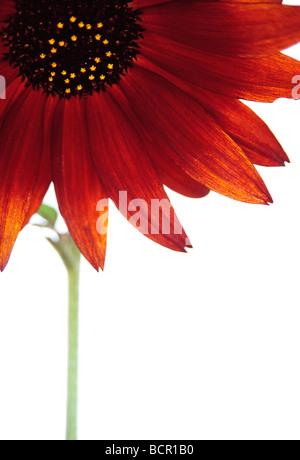 Helianthus annus 'Velvet Queen', Sunflower - Stock Photo