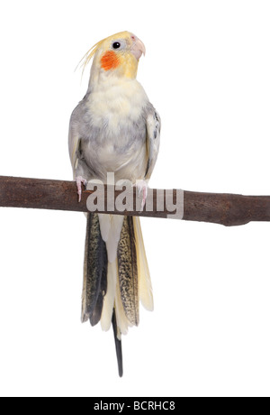 Cockatiel perching on a branch, Nymphicus hollandicus, in front of a white background, studio shot - Stock Photo