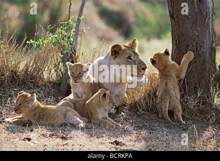 Young male lion seven months old socialising with four young cubs Masai Mara National Reserve Kenya East Africa - Stock Photo