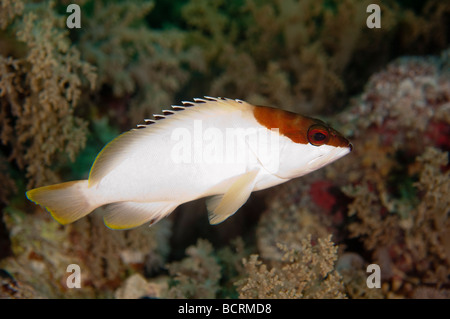 A Blacktipped Grouper casually drifts about the coral reef near Ras Mohammed, Egypt. - Stock Photo
