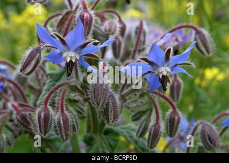 Borage Borago officinalis Taken In Croxteth Hall Walled Garden, Liverpool, England, UK - Stock Photo