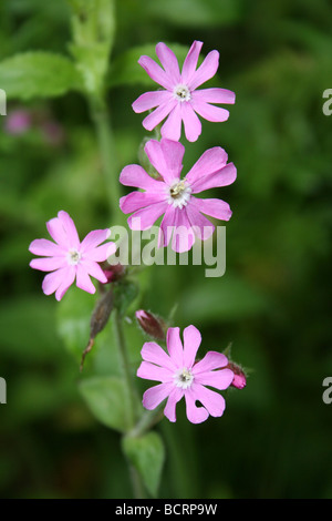 Red Campion Silene dioica Taken In St James' Gardens Cemetery, Liverpool, Merseyside, UK - Stock Photo