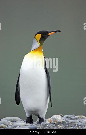 King Penguin Aptenodytes patagonicus Ross Glacier South Georgia - Stock Photo