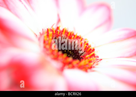 fresh and pure contemporary image of a red tipped gerbera fine art photography Jane Ann Butler Photography JABP357 - Stock Photo