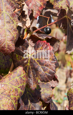 Single grape after harvest in Chianti classico area In Tuscany Italy - Stock Photo
