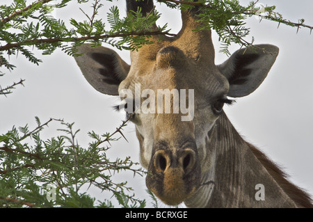 Masai Giraffe from the Selous Game Reserve Tanzania, East Africa region - Stock Photo