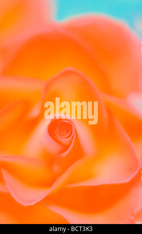 close up of rose bursting with colour fine art photography Jane Ann Butler Photography JABP350 - Stock Photo