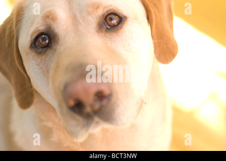 dog- labrador - Stock Photo