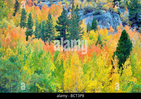 Mixed forest of aspens in fall colors and fir trees Inyo National Forest California - Stock Photo