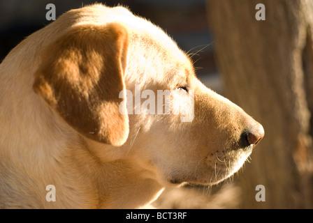 dog sleeping - labrador - Stock Photo