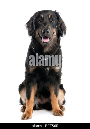 Hovawart dog, 7 months, in front of white background, studio shot - Stock Photo
