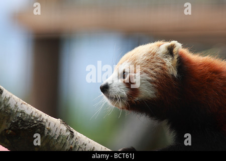 The Red Panda, also called the Firefox or Lesser Panda (Latin name: Ailurus fulgens) - Captive - Stock Photo