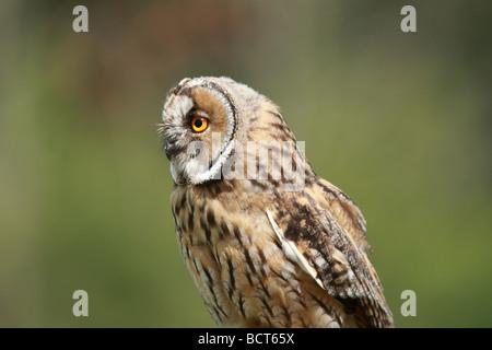 A juvenile Long Eared Owl, asio otus. Stock Photo